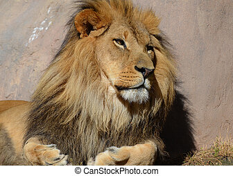 Drowsy African Lion in the Warm Sunshine on a Summer Day