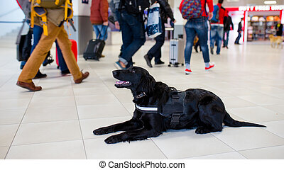 Drug detection black dog resting at the airport on the background of people. Horizontal view.