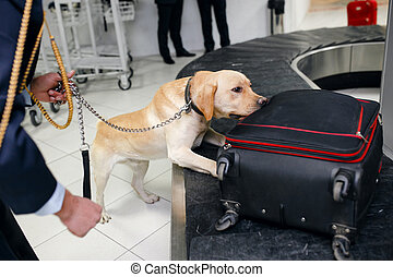 Drug detection dog at the airport searching drugs in the luggages. Horizontal view