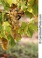 druif wijngaard