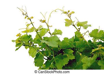 druif, wijngaarden