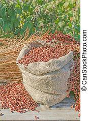 drummondii, sorgo, subsp, bicolor