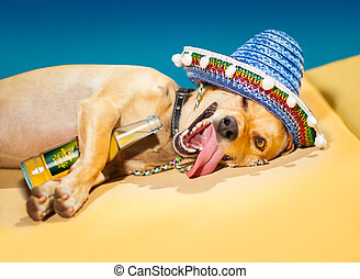 drunk mexican dog - drunk chihuahua dog having a siesta with...