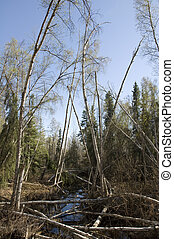 Drunken Trees - Trees tipping over as the permafrost below...
