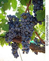 druvor, på, vin
