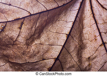 Dry autumn maple leaf closeup.  Abstract background
