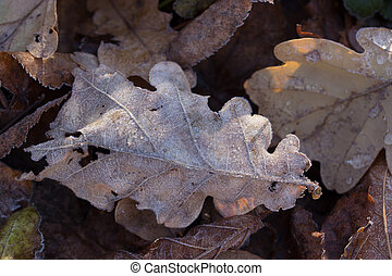 Dry autumn oak leaf with water drops after rain