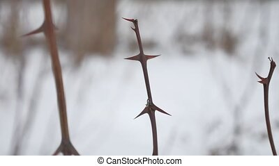 Dry bare tree branch with sharp thorns on snow background.