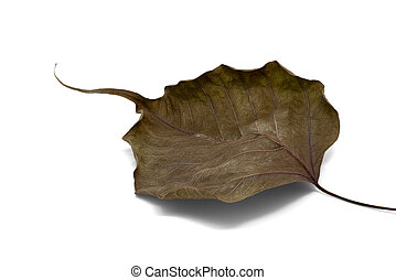 Dry bodhi leaf vein on white background