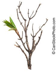 Dry branch with leaf buds