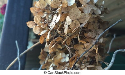 dry Brown inflorescences on the street close-up