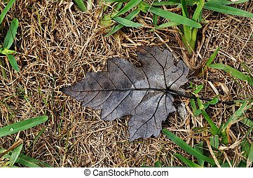 Dry Brown Maple Leaf