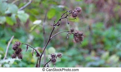 Dry burdock fluttered in the wind under a shallow rain...