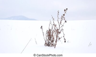 Dry bush of thistle shaking in gentle freeze wind. Frozen thorn in snowy field,  winter dry grass sticking from snow. Forest jill at horizon, winter landscape.