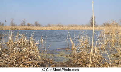 Dry cane reeds, marsh grass on lake with blue water in early...