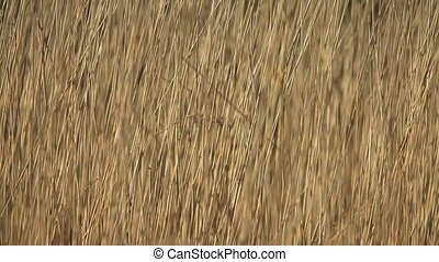 Dry cattail swing in wind backgroun - wilderness dry cattail...
