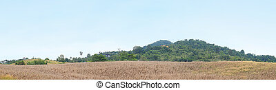 Dry corn in the agricultural field, Thailand