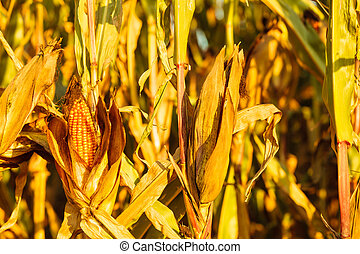 Dry corn on the stalk in the field - Closeup of dry corn on...