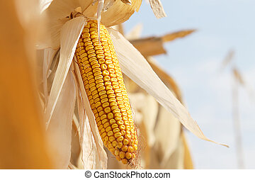 Dry corn on the stalk