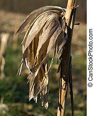 Dry corn stalk with empty ear