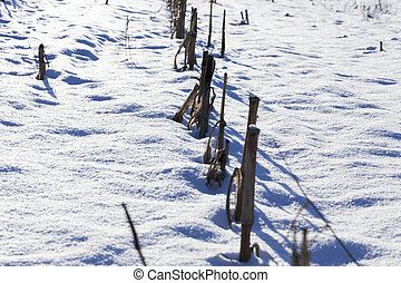 dry corn stalks in a snow-covered field