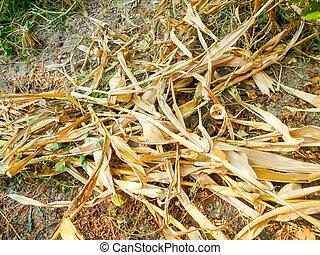 dry corn stalks on the ground. autumn harvest