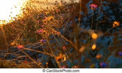 Dry Desert Grass With Small Flowers Backlit, Coastal Wild...