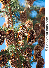 Dry fir cones on a tree