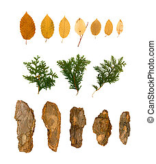 Dry Flat Thuja Sprig Isolated on White Background