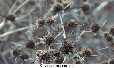 Dry flower thistle flower - Dead Headed Thistle flowers in...