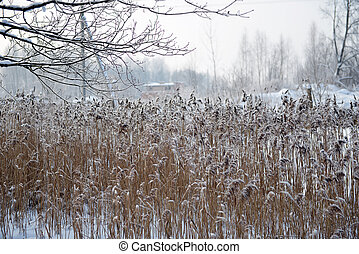 reeds on frozen pond