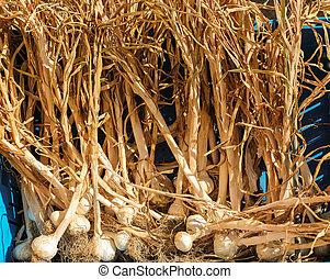 Dry Garlic - Allium sativum, commonly known as garlic, is a ...