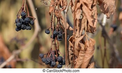 Dry girlish grapes in the wind - Dry girlish maiden wobbles...