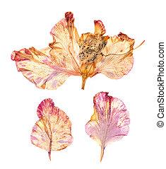 Dry gladiolus flower petals - Dry, pressed gladiolus flowers...