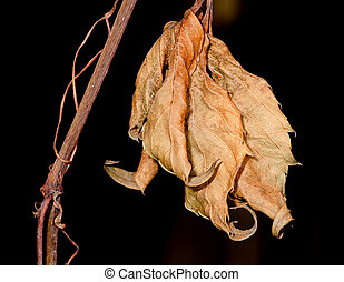 Dry gold leaves of a liana