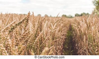 Dry golden wheat spikes in a field, slight slow motion dolly...
