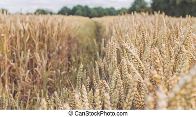 Dry golden wheat spikes in a filed. Slow motion dolly...