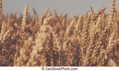 Dry golden wheat spikes in sun light, slow motion dolly...