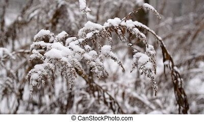 Dry goldenrod flower plant swaying in slow motion in snow