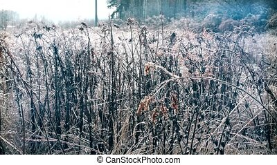 Dry goldenrod grass with ice on it in winter