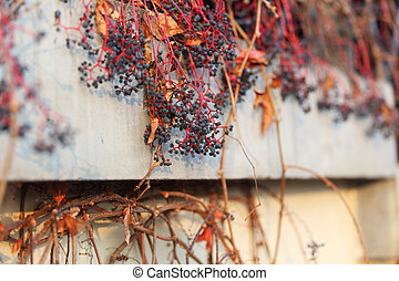 dry grape on wall