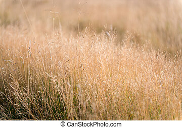 dry grass background. nature, ecology and harvest concept. dry grass field with spikelet plant with warm light morning. dry grass field pasture in sunset sunlight. plantation. enjoying nature.