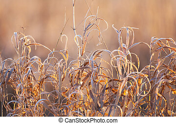 dry grass covered with hoarfrost is lit with the morning sun at sunrise