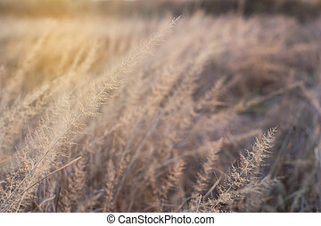 Dry grass flower with sun in the evening.