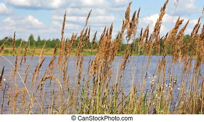 dry grass growing on the river bank waves on a wind