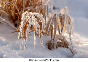 Dry grass in rime frost - Dry grass covered in hoar frost on...