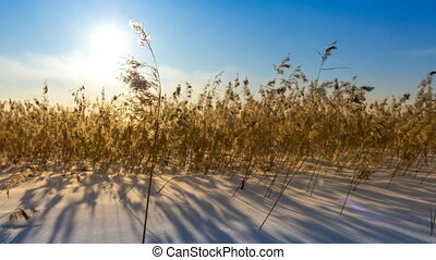 Dry grass in the field in the snow