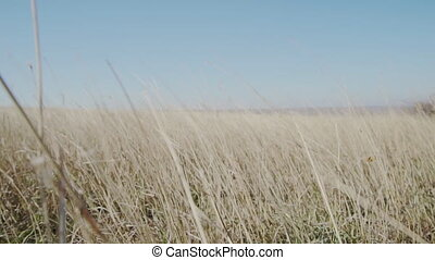 Dry grass in the wind slow motion