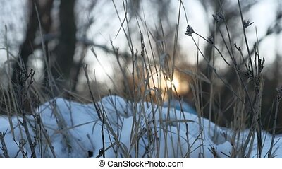 dry grass in winter in the snow behind the glare of the sun