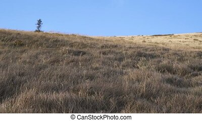 Dry grass moving fast in strong wind in mountains ridge in sunny evening.